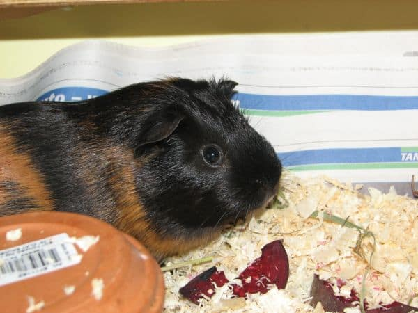 Guinea Pig Chilling in Cage
