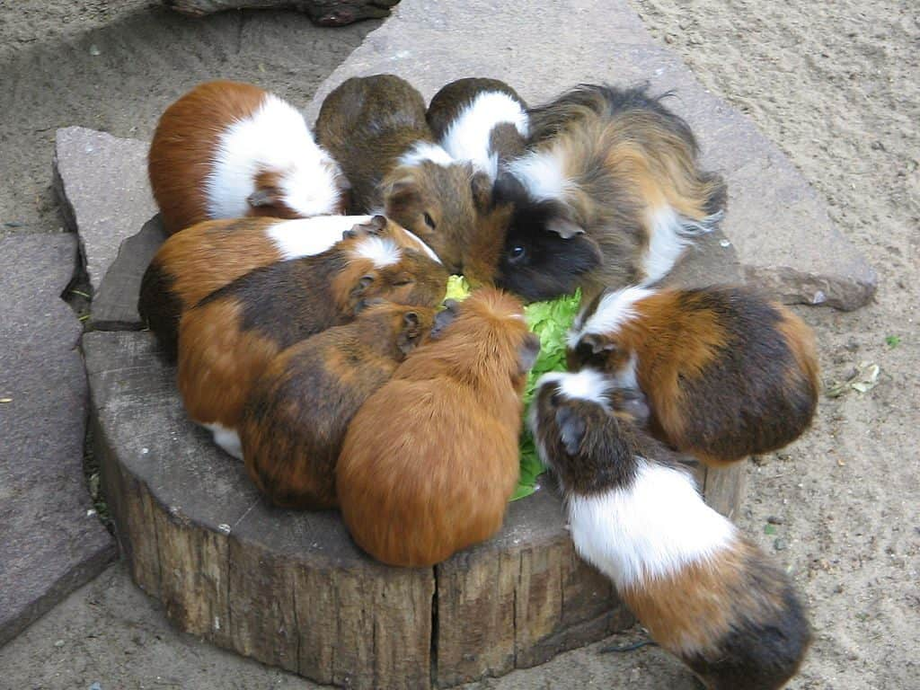 Guinea Pig Social Group