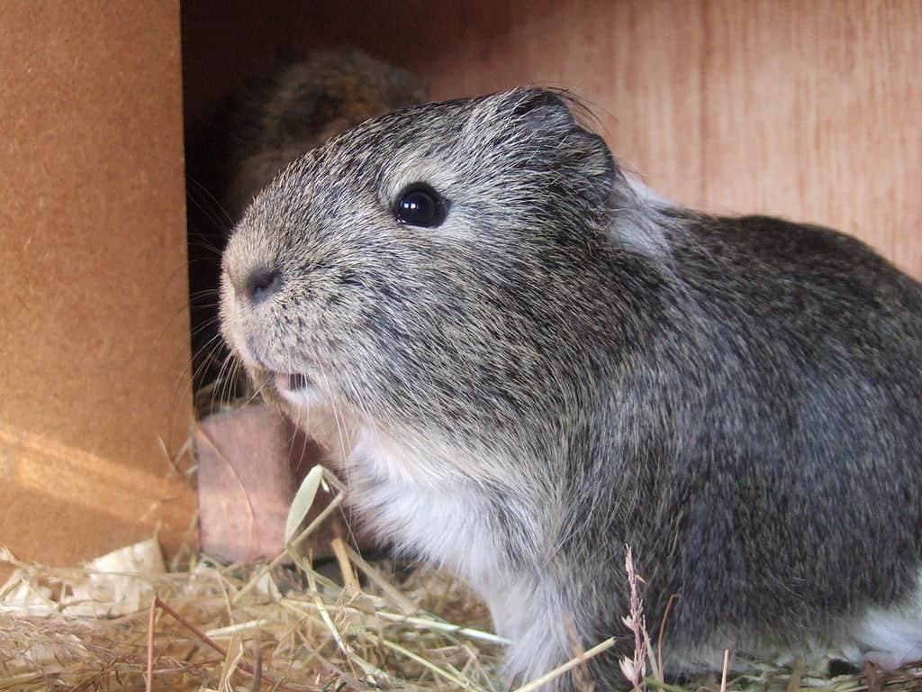 Guinea Pig a Good Pet