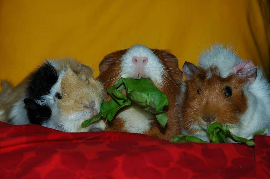Guinea Pigs Sharing the Wealth