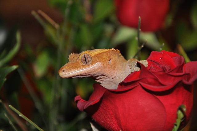 crested gecko 4