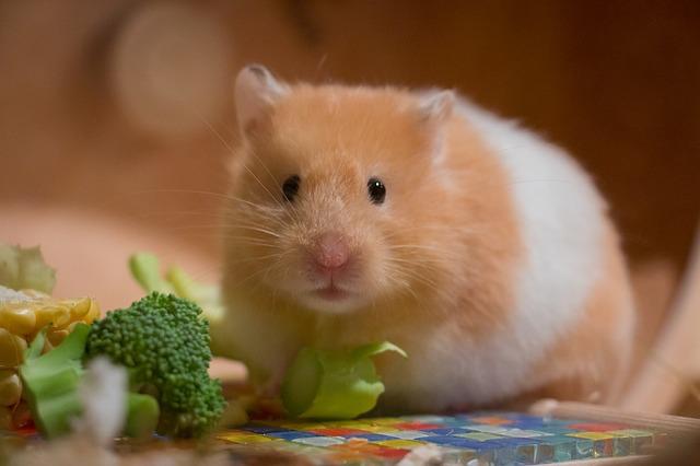 hamsters 1