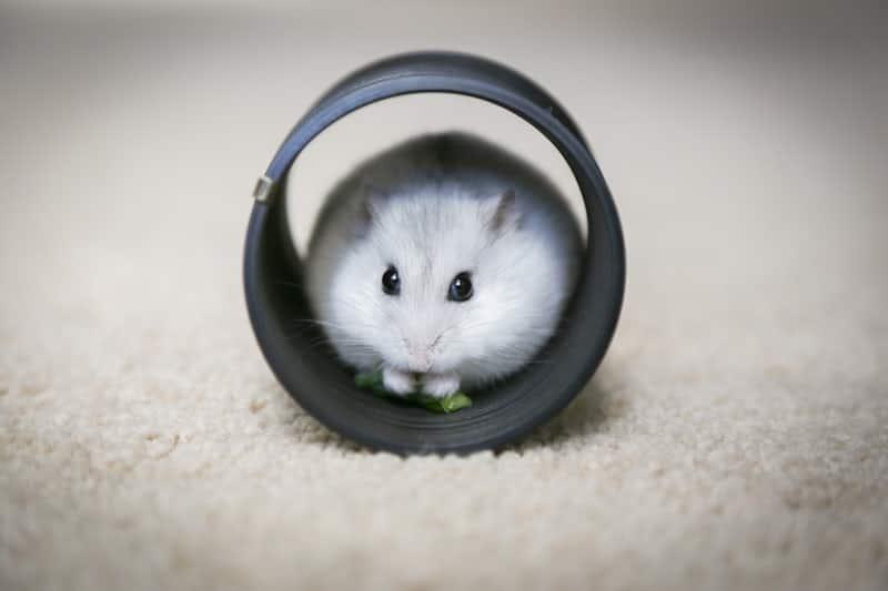 KFP hamster