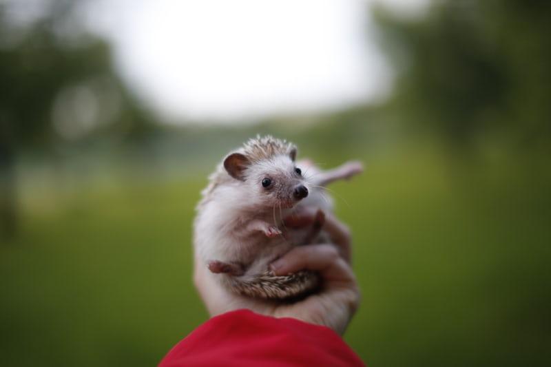 KFP hedgehog