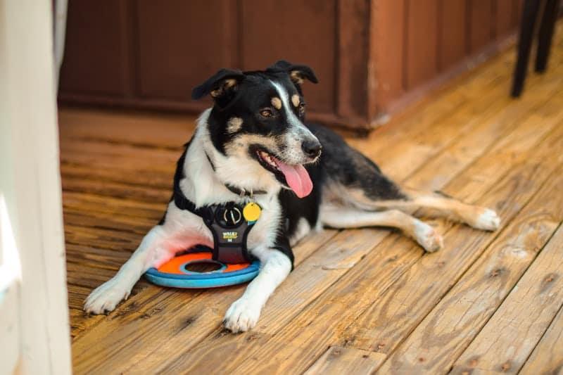 ada service dog 1