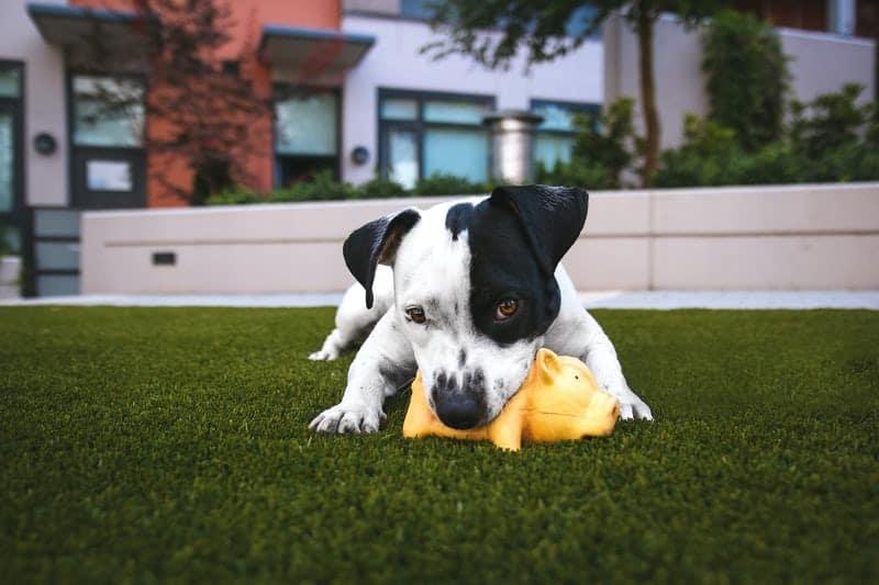 ada service dog play