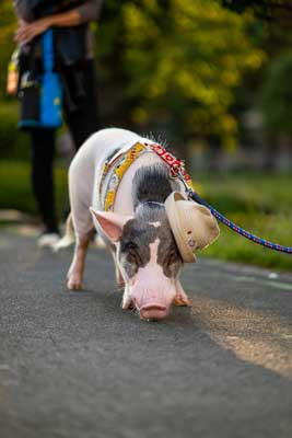 pig in hat